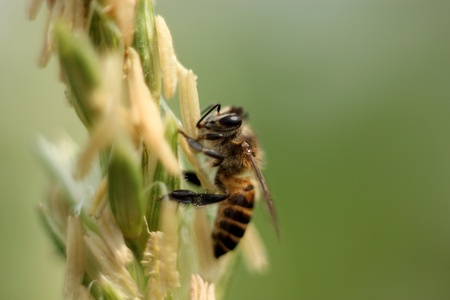 Bees collect pollen photo