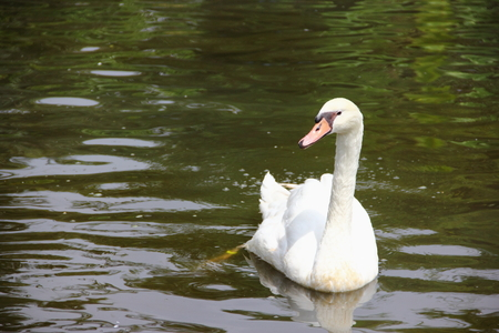 White swans floating on the water surface  Stock Photo