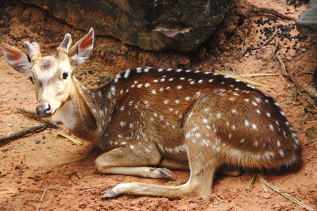 The deer lying on the sand at the zoo  Stock Photo