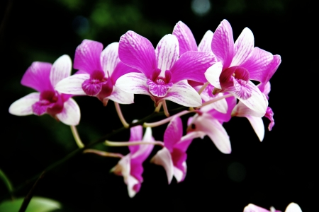 Purple orchid  With a black background