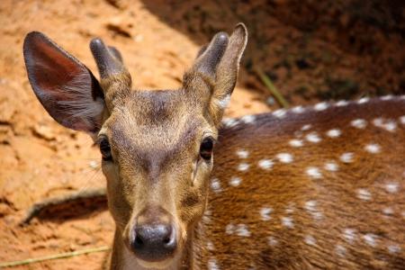 глядя на камеру: Дикая природа олень коричневый, глядя камеры