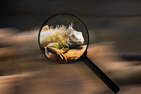 Chameleon reptiles  Magnifying lens in black