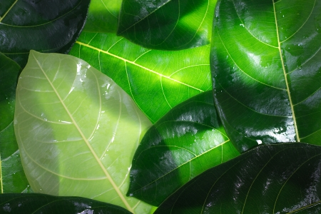 Durian leaves. Dicotyledon fruit is grown in Asia.
