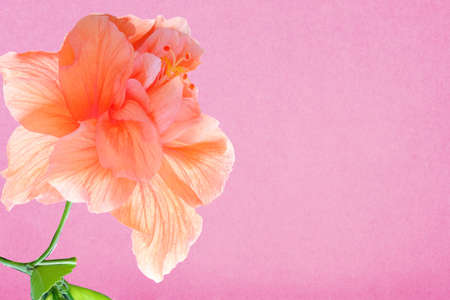 Orange flowers with pink background color  Stock Photo