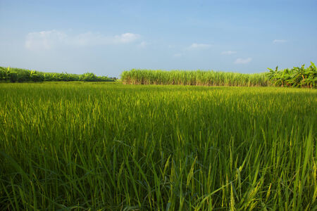 Green rice plants with bright blue . Stock Photo