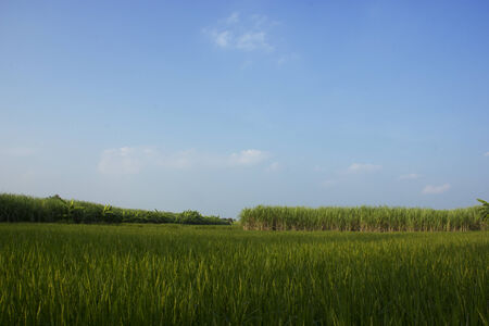 Green rice plants with bright blue background.