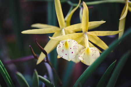 rung: Yellow Orchid Flowers
