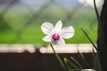 rung: White Orchid Flower