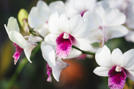 White Orchid Flowers Stock Photo
