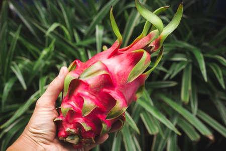 Fresh red dragon fruit- Pitaya fruit 版權商用圖片 - 152244204