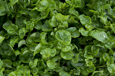 aquatic herb: Watercress cropping