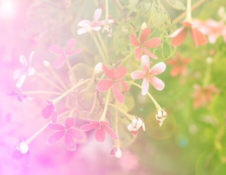 jade plant: Red Jade plant flowers on a background of shrubs.(Making light soft and blur.) Stock Photo
