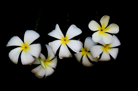 The Frangipani is national flower of Laos  photo