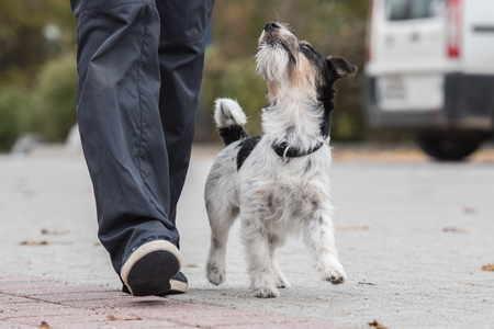 Perfect footwork with a small jack russell terrier
