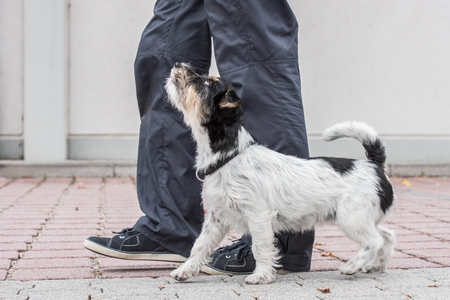 footwork: perfect footwork with a small jack russell terrier Stock Photo