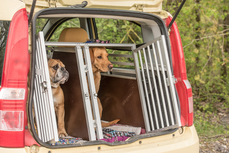 golden retriever and continental bulldog in the kennel of a car