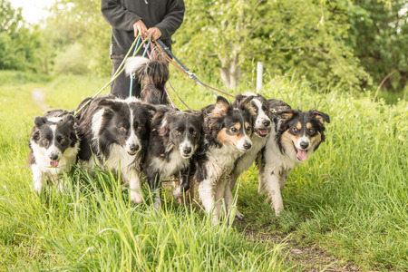collies: Walk with many Border Collies on a leash Stock Photo