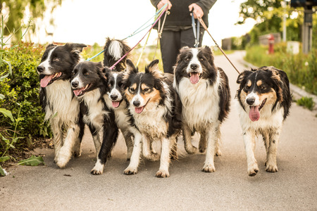 Walk with many Border Collies on a leash Stock Photo