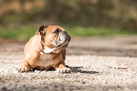 continental: Continental Bulldog