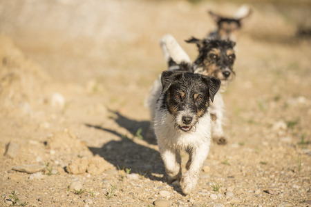 jack russell race