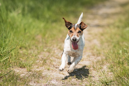 Jack Russell running over a meadow Stock Photo