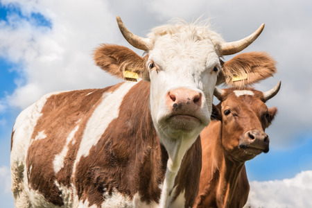 cattle wire wires: Two cows against blue sky and clouds - Simmental cow