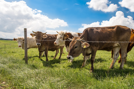 small herd of cows surrounded on a lush green pasture  meadow with barbed wire fence