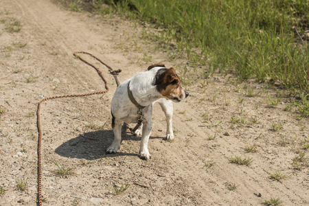 trailing: small dog on the leash trailing Stock Photo