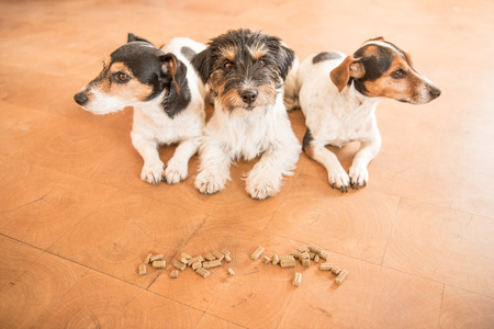 obedient: Obedient dogs make room on command and avoid lining - Jack Russell Terrier Stock Photo
