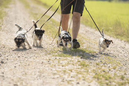 Walk with many Jack Russell on a leash