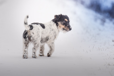 Jack Russell Terrier on nature in winter Stock Photo