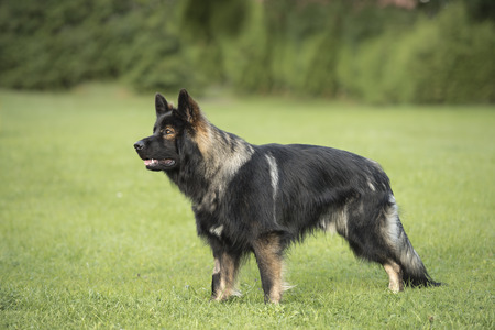 domestic policy: German shepherd standing and looking straight into the camera