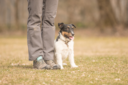 handlers: Perfect footwork with a small jack russell terrier dog Stock Photo