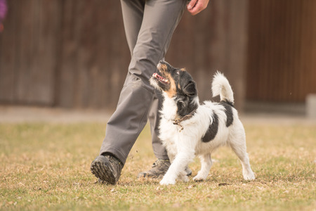 Perfect footwork with a small jack russell terrier dog Foto de archivo