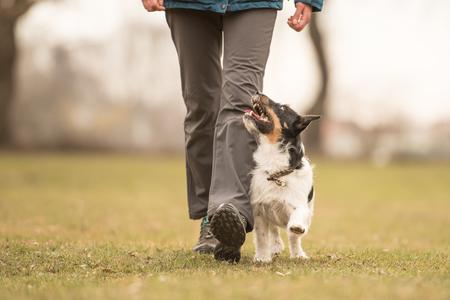 Perfect footwork with a small jack russell terrier dog Stock Photo