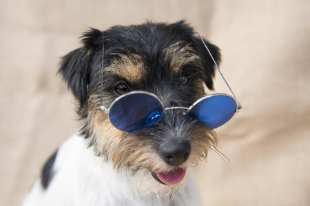 dog with glasses - jack russell terrier Standard-Bild