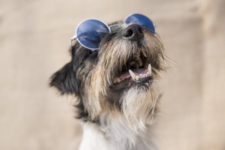 dog with glasses - jack russell terrier Stock Photo