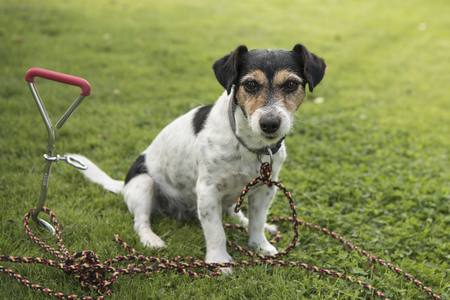 tied in: Dog in the garden tied to a hook earth - jack russell terrier Stock Photo