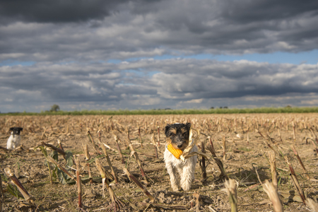 autumnally: Dog running over harvested corn field in front of clouds. Stock Photo