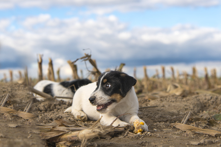 Puppy on harvested corn field in front of clouds - jack russell terrier - 2 months old
