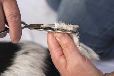 Dog haircutting with the effilating scissors - grooming