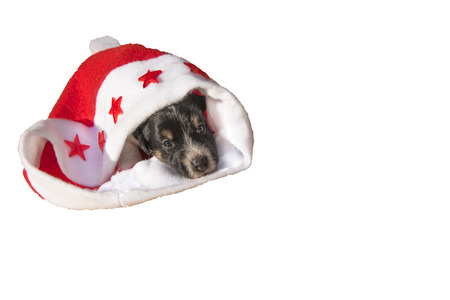 mini jack: cute christmas dog puppy - isolated - jack russell terrier