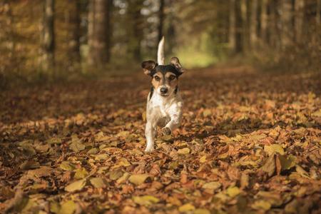 犬の秋の森 - ジャック ラッセル テリア