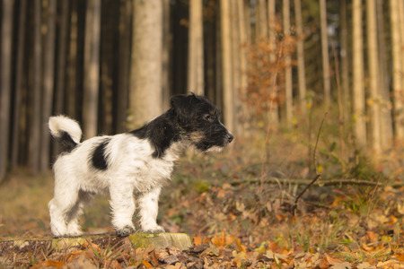 running nose: Small puppy in the autumn forest - 15 weeks old - jack russell terrier Stock Photo
