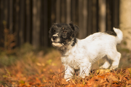 Small puppy in the autumn forest - 15 weeks old - jack russell terrier Stock Photo