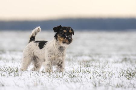 白い草原 - 冬の小型犬立っているジャック ・ ラッセル ・ テリア 写真素材