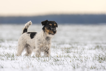 small dog standing in winter in a white meadow - jack russell terrier