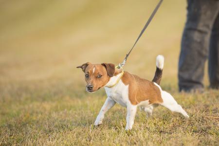 犬の綱を引っ張る - ジャック ラッセル テリア 写真素材