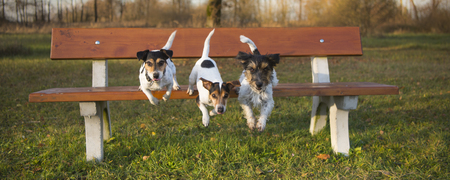 Three dogs jumping from a park bench - jack russell