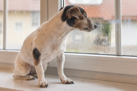 Dog looking through the window - jack russell terrier
